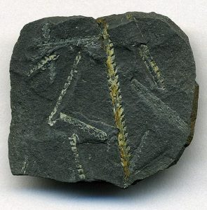 fossil in a rock