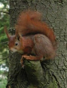 Red squirrell